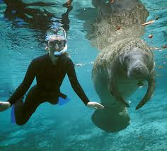 Florida wild swimming images Usgs biologist coauthors book on the florida manatee jpg