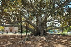 banyon tree balboa 17 r2 jpg 760 505 balboa park in san diego