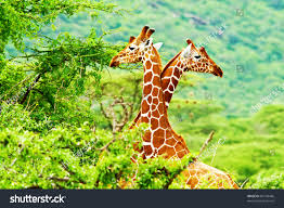 african giraffes family two animals fighting stock photo 83149486