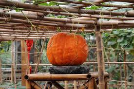 ripe pumpkins no bamboo trellis stock photo picture and royalty