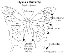 ulysses butterfly coloring pages butterfly