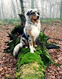 australian shepherd quiz what a blend of colors dog animal and pet dogs