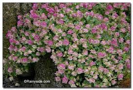 origanum rotundifolium kent ornamental oregano
