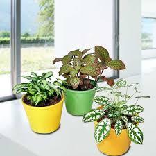 Indoor Plants Singapore | singapore indoor plants online plant delivery bonsai potted plants