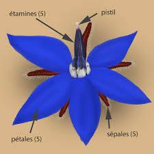 bourrache cuisine résultat de recherche d images pour fleur de bourrache cuisine