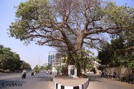 baobab the unnoticed 702 years tree adajan