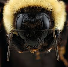 bumblebees bees of georgia