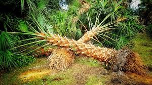 palm trees palmtreedepot