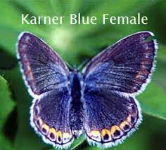 karner blue butterfly this fact sheet provides background