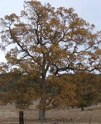 quercus lobata white oak