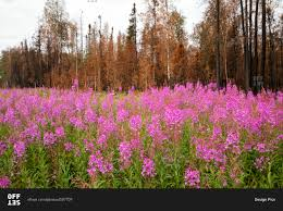 Fires Near Alaska by Fireweed Chamerion Angustifolium And Burned Out Trees From The