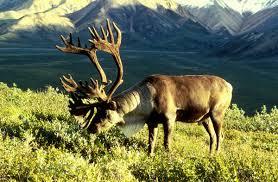 caribou wikipedia