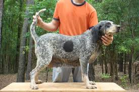 bluetick coonhound off leash started dogs at bluetick 1 kennels bluetick1kennels www