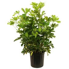 umbrella plant house plants indoor plants the home depot