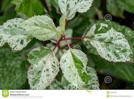 ornamental variegated leafy shrub stock photo image 41910292