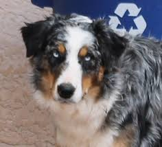 twin oaks 2 australian shepherd rockin u0027 diamond t ranch