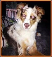 australian shepherd quirks ghost eye mini aussie past customers page 2