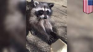 how to make friends with raccoons teen sees critters show up