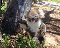Angry Koala Meme - koala gets kicked out of tree and cries youtube