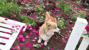 The Queen S Corgis by The Body Shop Mother U0027s Day 2016 British Roses For Hm U0027the Queen