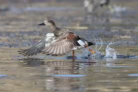 california duck hunting seasons laws and locations for public