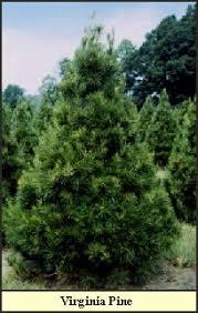 Christmas Tree Farm Va - elves christmas tree farm and pumpkin patch choose and cut tree