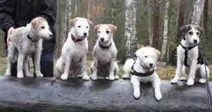 affenpinscher a donner parson russell terrier dog breed standards