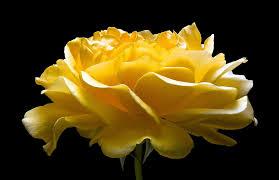 Summer Garden Quotes - blossom petals garden rose summer yellow beautiful flower picture