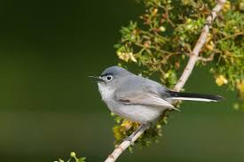 blue gray gnatcatcher audubon field guide