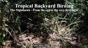 Backyard Birding Magazine Belizemagazine Com The Internet Magazine Of Belize
