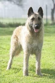 belgian shepherd herding ovejero belga laekenois chien de berger laekenois belgian