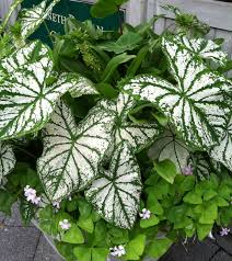 colorful caladiums plant talk
