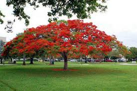 royal poinciana s are in bloom here in miami so beautiful