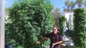 Aeroponic Vertical Garden Aeroponic Marijuana Grow 3 Pounds Of Cannabis On Just 1 Tower
