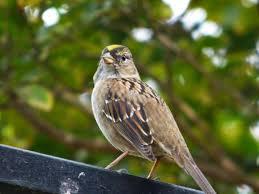 geotripper u0027s california birds bird day golden crowned