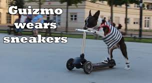 boxer dog on motorcycle scooter dogs wear sneakers youtube