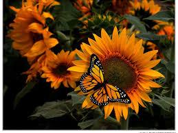 images of butterflies flowers butterflies fresh hd wallpaper