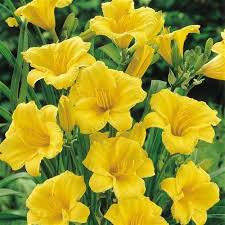 stella daylily daylily stella de oro for sale online greener earth nursery