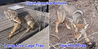 How To Get Rid Of A Skunk In Your Backyard How To Get Rid Of Coyotes