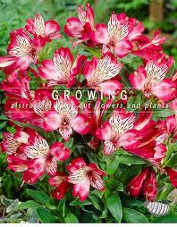 alstroemeria flower alstroemeria farms grow flowers types of alstroemerias farming