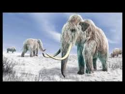 woolly mammoths u0027 u0027to walk earth u0027 u0027
