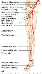 Human Anatomy Anterior Bio 202 Arteries And Veins Key Vascular Sonography Pinterest