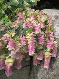 plant of the week origanum kent oregonlive