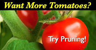 Types Of Patio Tomatoes 10 Steps To High Yield Tomatoes 50 80 Lbs Per Plant