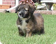 australian shepherd adoption takoma park md airedale terrier mix meet roscoe a dog for