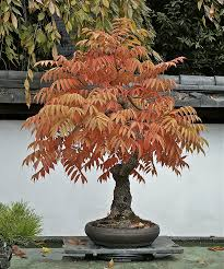 sumac bonsai valavanis bonsai