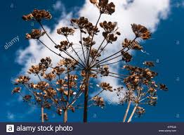 blue seed dead seed heads of the cow parsley plant anthriscus sylvestris