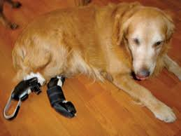 How To Get A Comfort Dog Keeping Your Three Legged Dog Healthy The Bark
