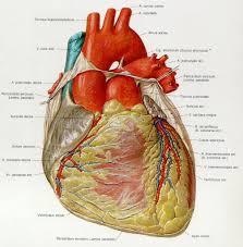 Diagram Heart Anatomy Woman Heart Anatomy Diagram Human Anatomy Library