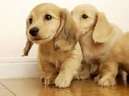 dogs and puppies wallpaper